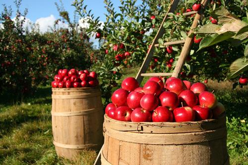 Apfelpflücker zur Gartenpflege