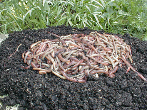Regenwürmer Kompostwürmer kaufen